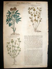 Gerards Herbal 1633 Hand Col Botanical Print. Purple, Yellow, Meadow Trefoil